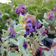 セリンセ・マヨール、ルピナス開花です