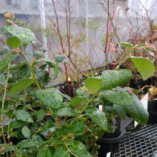 ブルーベリー(鉢植え)の植え替え